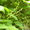 Диоскорея  Стевия   лимонник   канупер   Липпия #867779