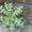 Расторопша - семена #867783