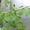 Гинкго билоба. Семена,  саженцы,  сухой лист.  #867770