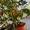 Мурайя - комнатный лекарственный  ароматный цветок. #942851