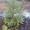 Предлагаем большой выбор живых зелёных новогодних елок сосен #1344533