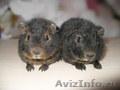 Морские свинки разных пород продаются