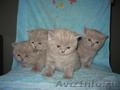 Продам чистокровных британских котят