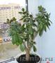 Продам денежное дерево в Пензе