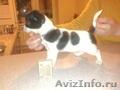 щенок чихуахуа девочка