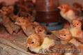 Продаю цыплят, кучинские юбилейные! г. Саранск,  г. пенза