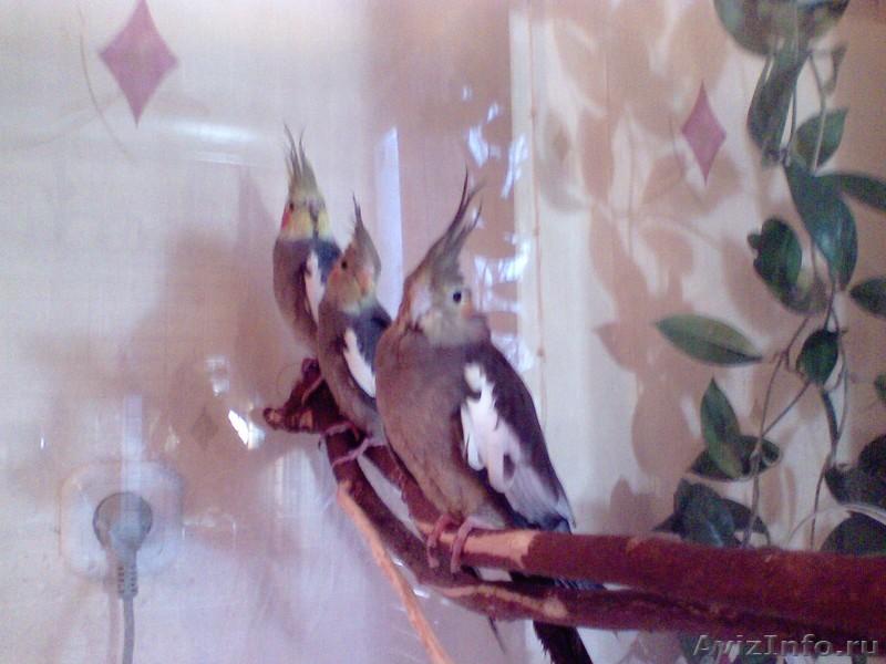 самка кореллы клюет самца