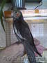 продам ручного птенца попугая