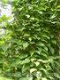 Диоскорея  Стевия   лимонник   канупер   Липпия - Изображение #2, Объявление #867779