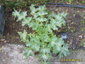 Расторопша - семена