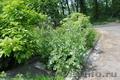 Расторопша - семена - Изображение #2, Объявление #867783