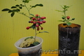 Мурайя - комнатный лекарственный  ароматный цветок. - Изображение #2, Объявление #942851