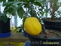Лимон Мейера плодоносит круглый год - Изображение #2, Объявление #937638