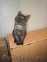 Продается классный шотландский котенок