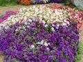 Цветы однолетние. Клумбы и цветники. Благоустройство. Озеленение.